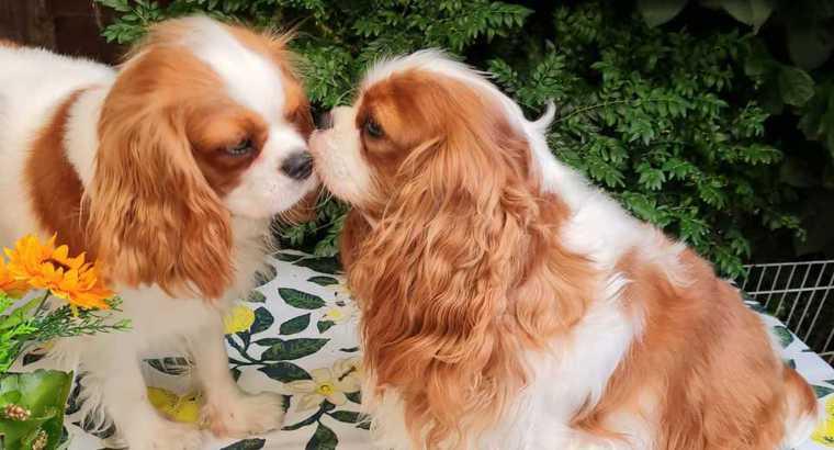 Best Of Queens Cavalier King Charles Spaniel Was Ist Ein